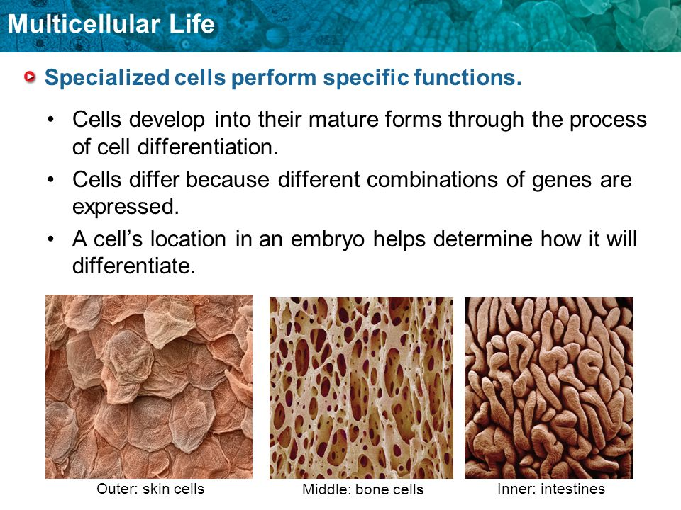 Specialized cells perform specific functions.