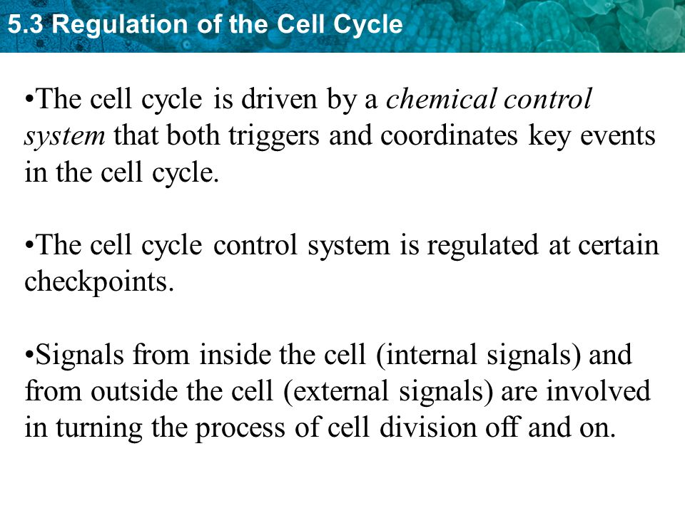 The cell cycle is driven by a chemical control system that both triggers and coordinates key events in the cell cycle.