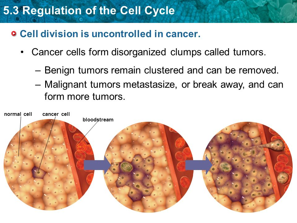 Cell division is uncontrolled in cancer.