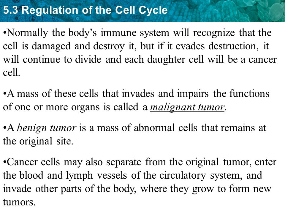 Normally the body's immune system will recognize that the cell is damaged and destroy it, but if it evades destruction, it will continue to divide and each daughter cell will be a cancer cell.