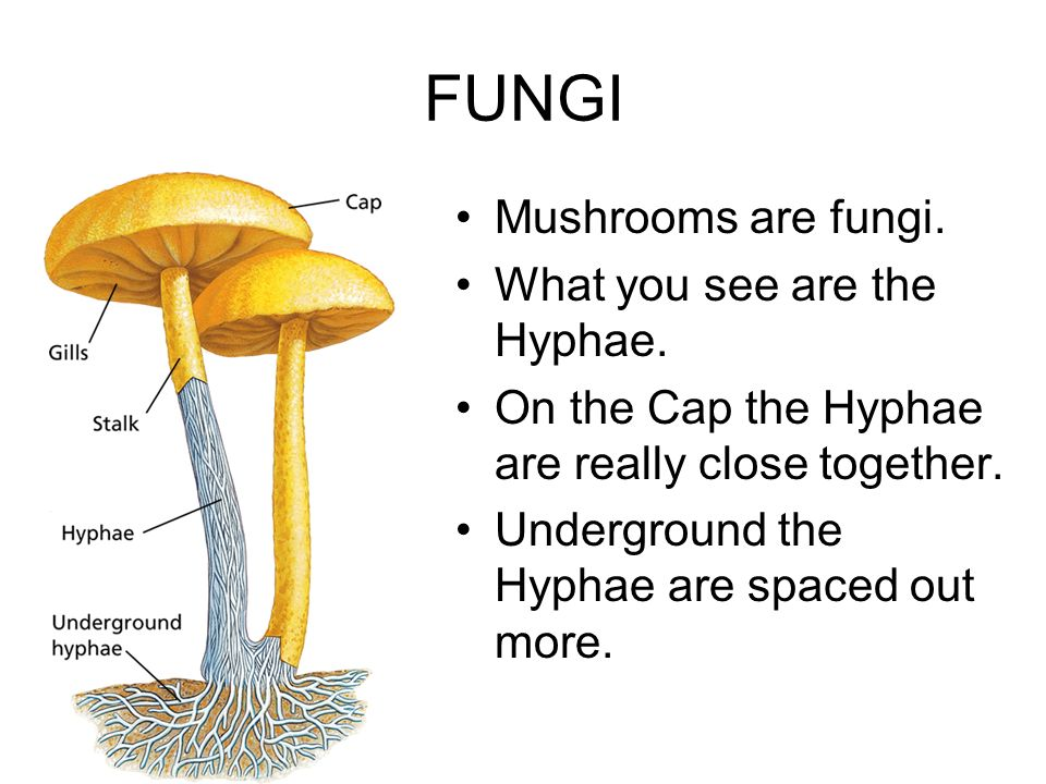 FUNGI Mushrooms are fungi. What you see are the Hyphae.