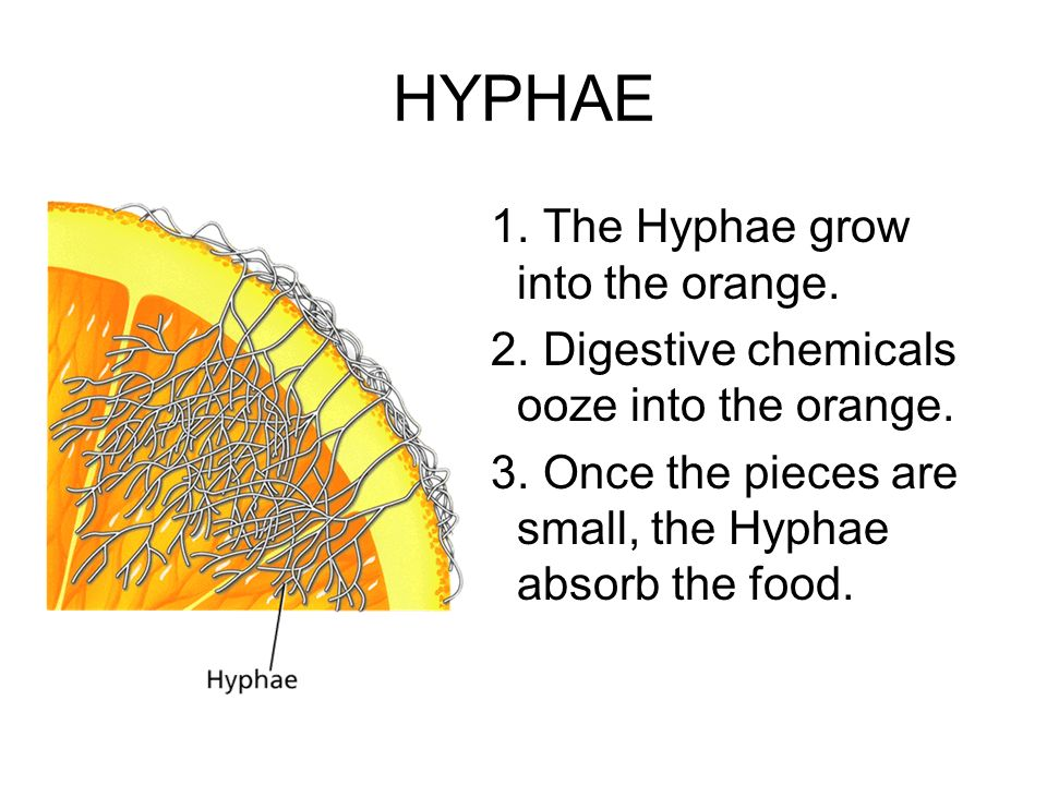 HYPHAE The Hyphae grow into the orange.