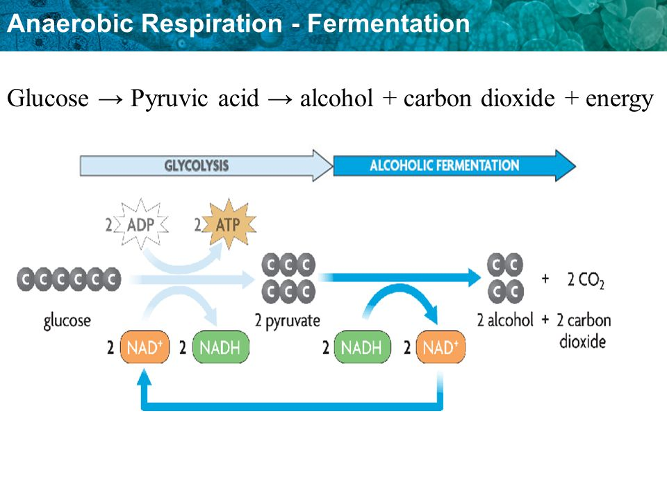 Glucose → Pyruvic acid → alcohol + carbon dioxide + energy