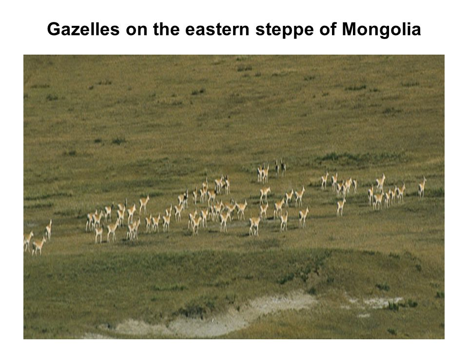 Gazelles on the eastern steppe of Mongolia