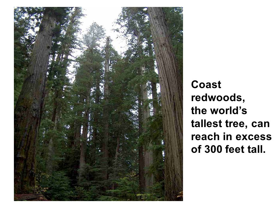 Coast redwoods, the world's tallest tree, can reach in excess