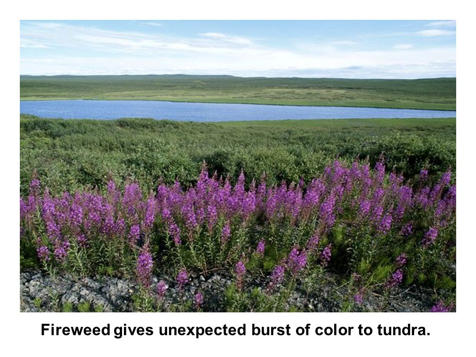 Fireweed gives unexpected burst of color to tundra.
