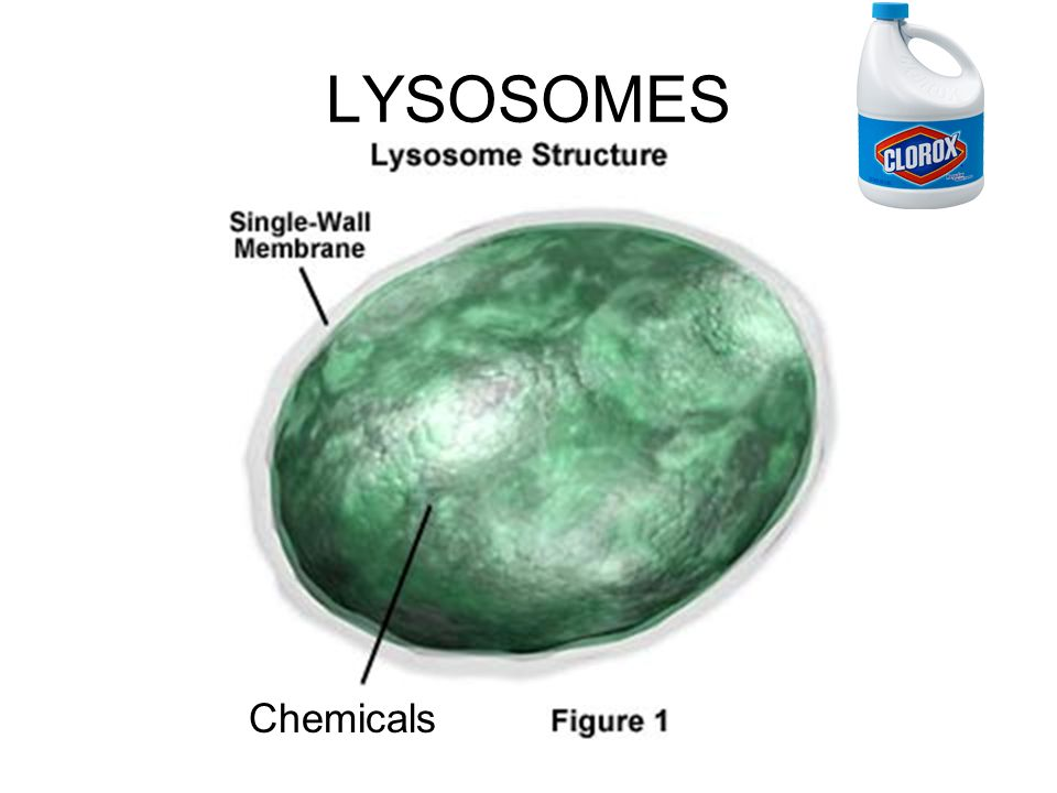 LYSOSOMES Chemicals