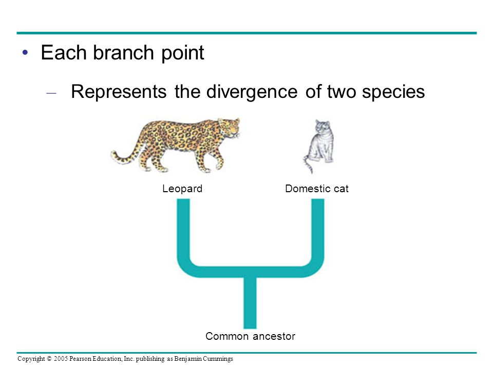 Each branch point Represents the divergence of two species Leopard