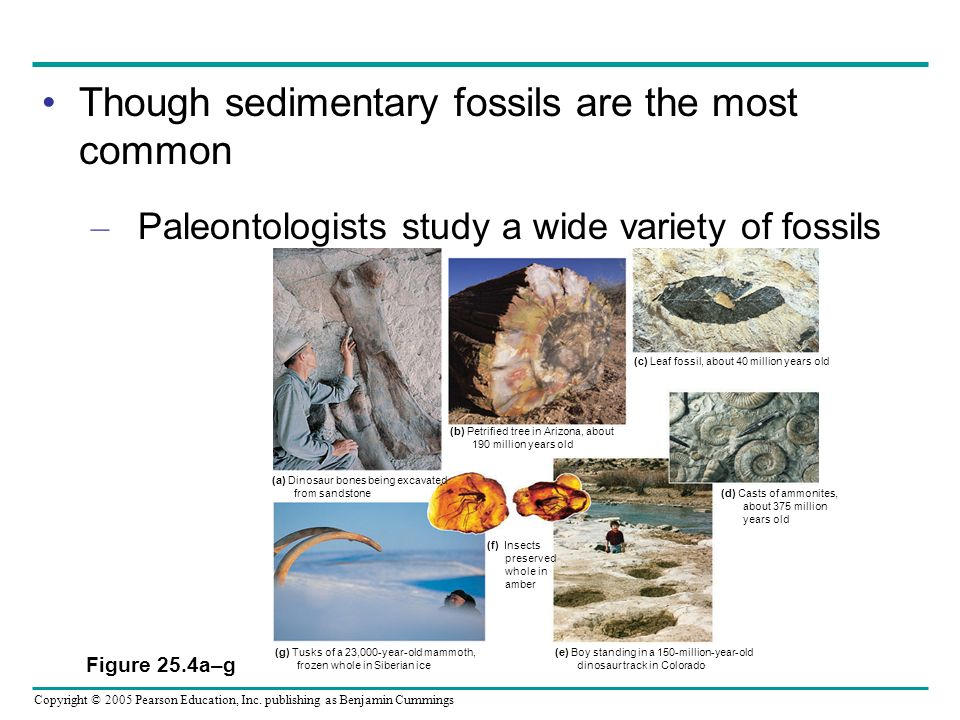 Though sedimentary fossils are the most common