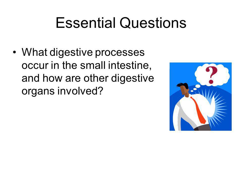 Essential Questions What digestive processes occur in the small intestine, and how are other digestive organs involved