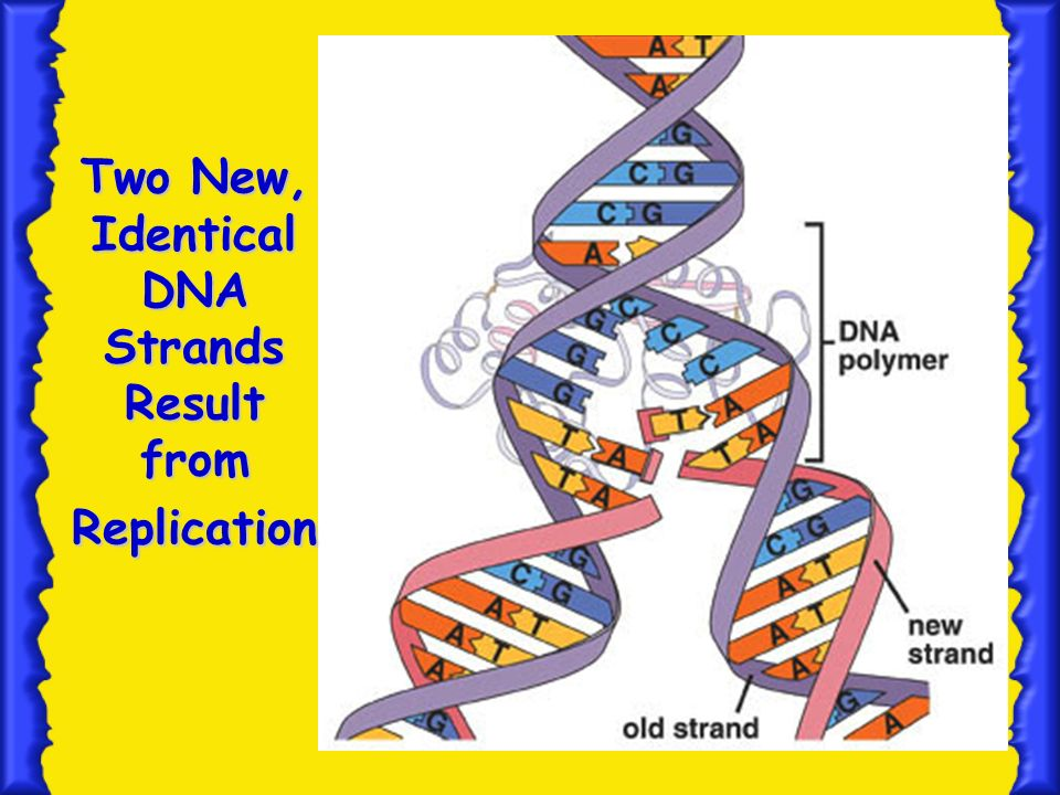Two New, Identical DNA Strands Result from Replication