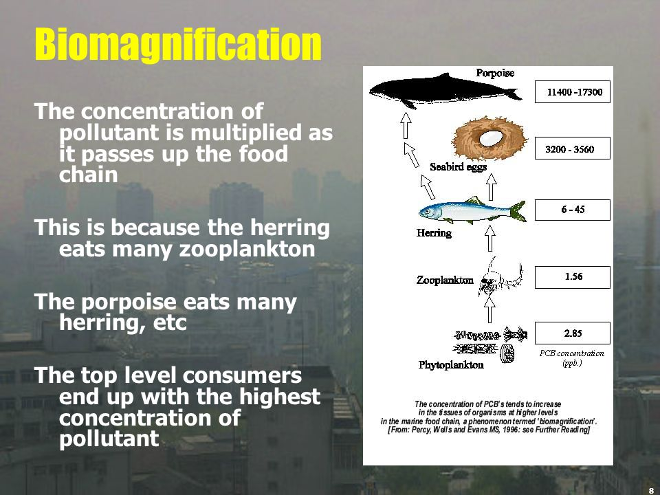 Biomagnification The concentration of pollutant is multiplied as it passes up the food chain. This is because the herring eats many zooplankton.