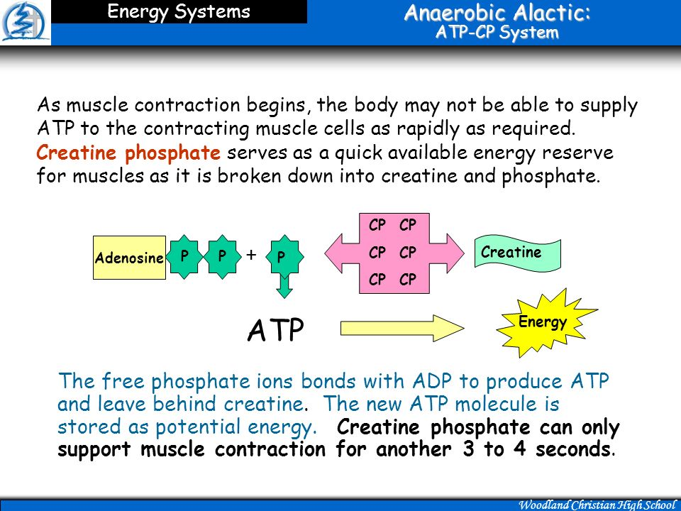 anaerobic resynthesis of atp Anaerobic respiration in humans takes place when muscle undergoes extreme contraction as in vigorous exercise when oxygen is limited the oxidation of nadh to nad + by the electron transport chain is insufficient to maintain glycolysis.