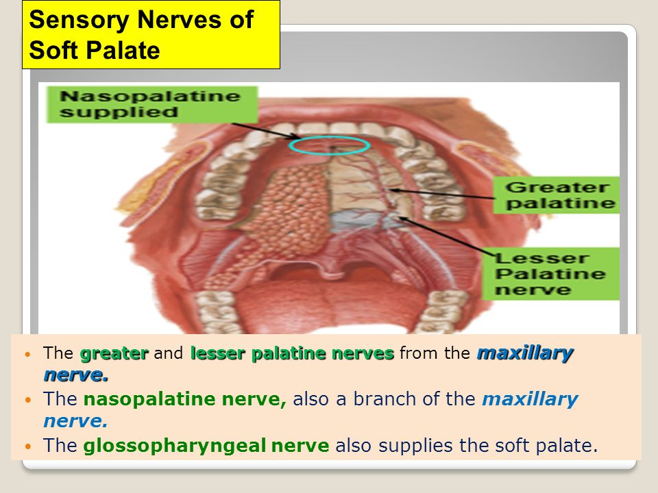 CLINICAL ANATOMY OF ORAL CAVITY - ppt video online download