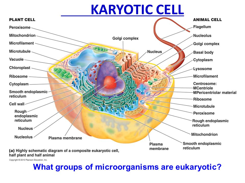 Anatomy of prokaryotic and eukaryotic cells ppt video online download 25 karyotic ccuart Gallery
