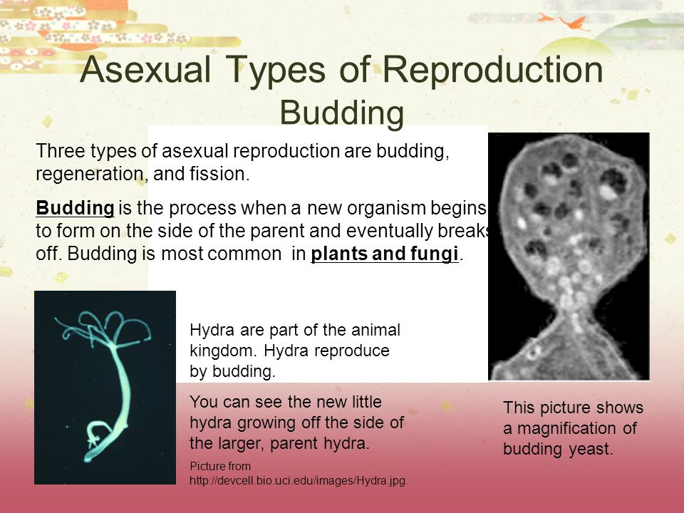Identify 3 forms of asexual reproduction in fungi budding