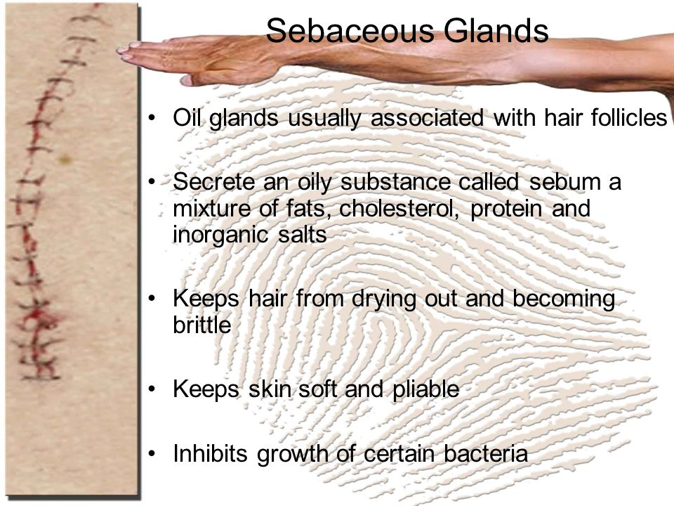 Sebaceous Glands Oil glands usually associated with hair follicles