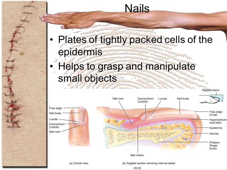 Nails Plates of tightly packed cells of the epidermis
