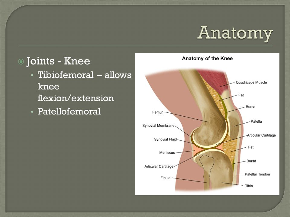 Anatomy Joints - Knee Tibiofemoral – allows knee flexion/extension