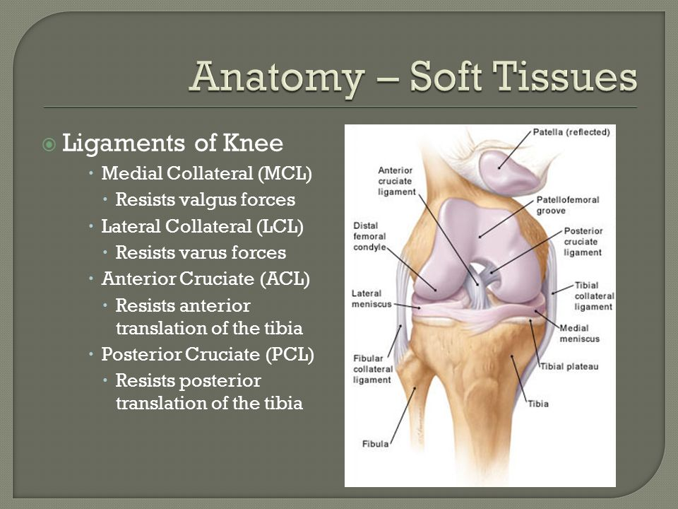 Anatomy – Soft Tissues Ligaments of Knee Medial Collateral (MCL)