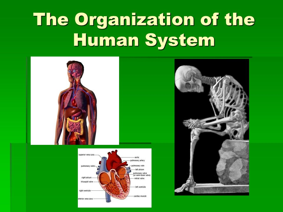 The Organization of the Human System