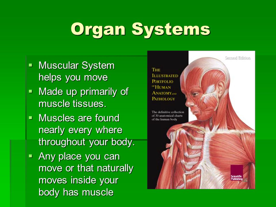 Organ Systems Muscular System helps you move