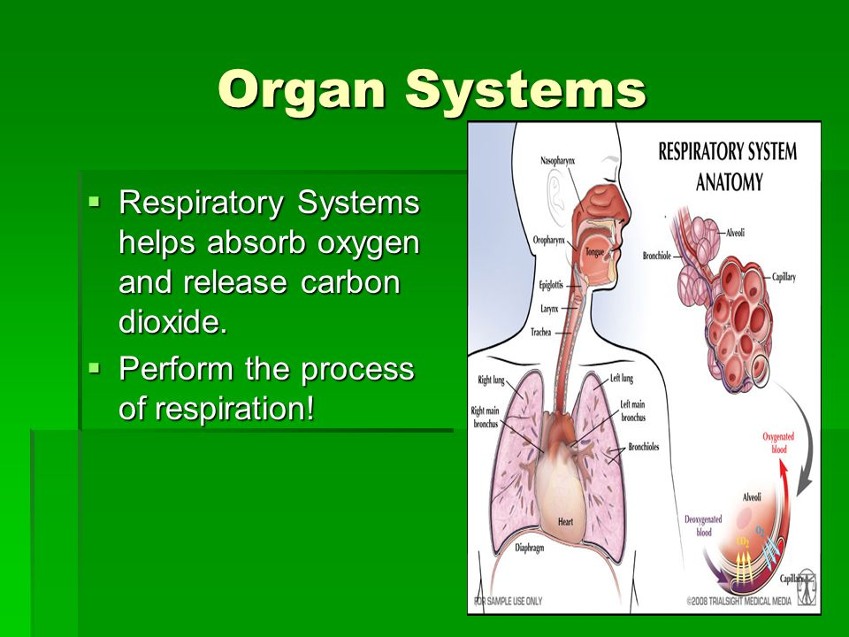 Organ Systems Respiratory Systems helps absorb oxygen and release carbon dioxide.