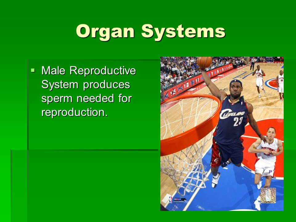Organ Systems Male Reproductive System produces sperm needed for reproduction.