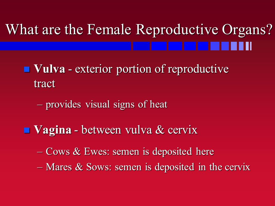 What are the Female Reproductive Organs