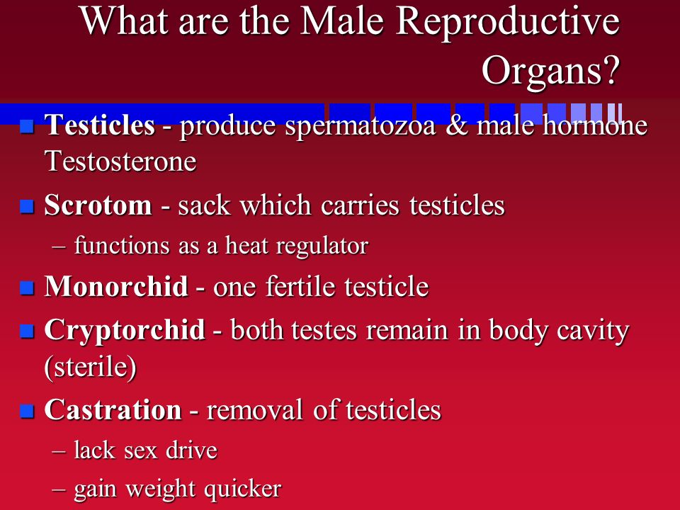 What are the Male Reproductive Organs