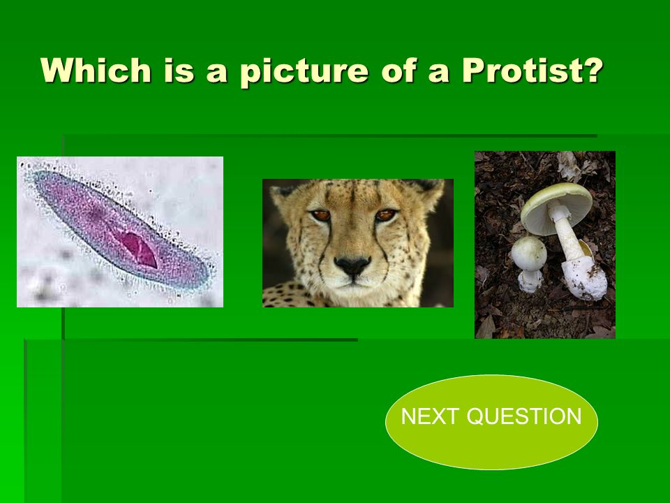 Which is a picture of a Protist