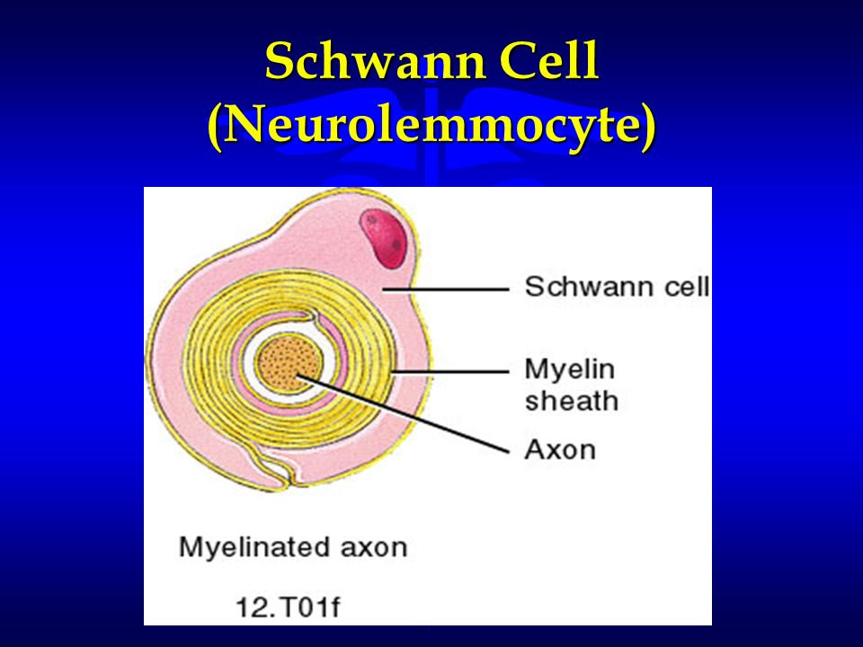 Schwann Cell (Neurolemmocyte)