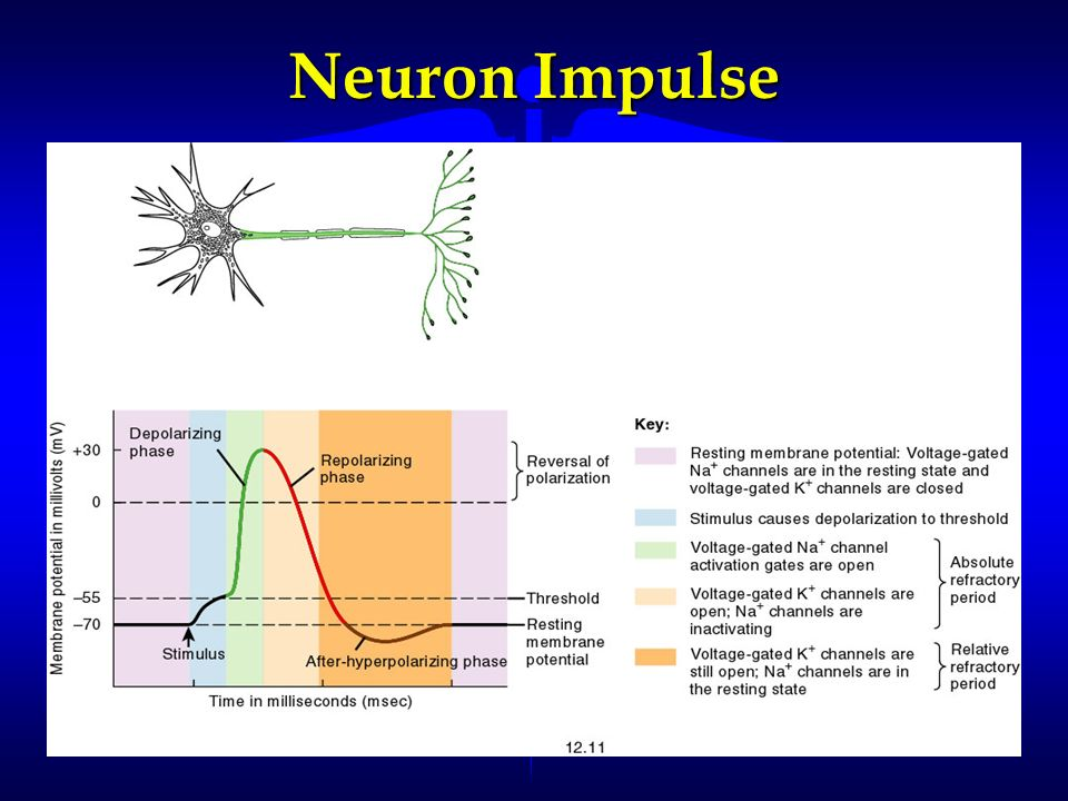 Neuron Impulse