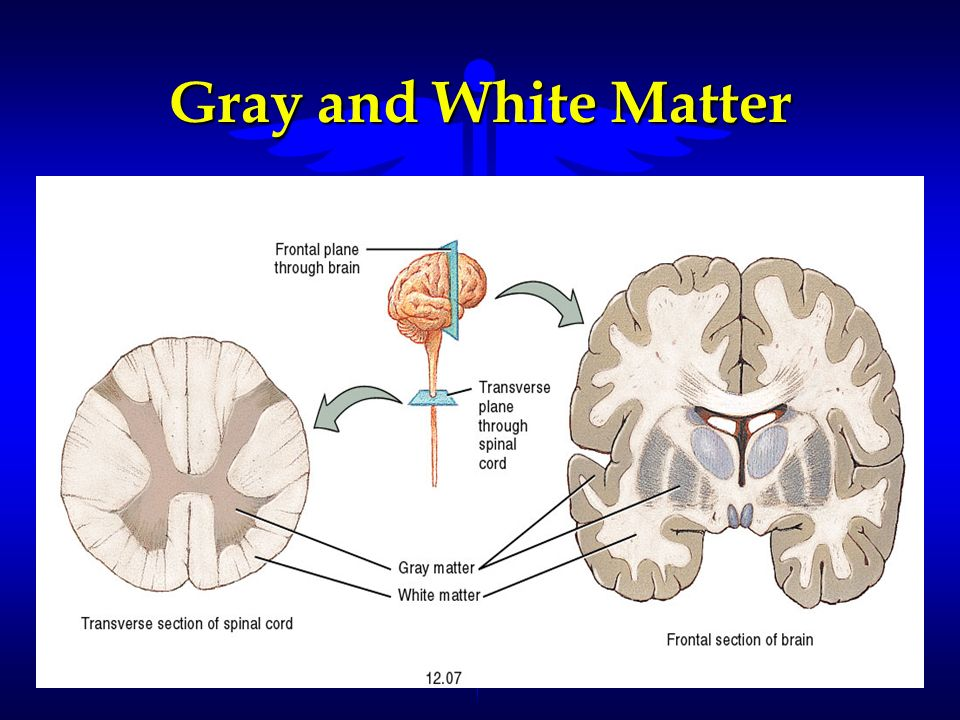 Gray and White Matter