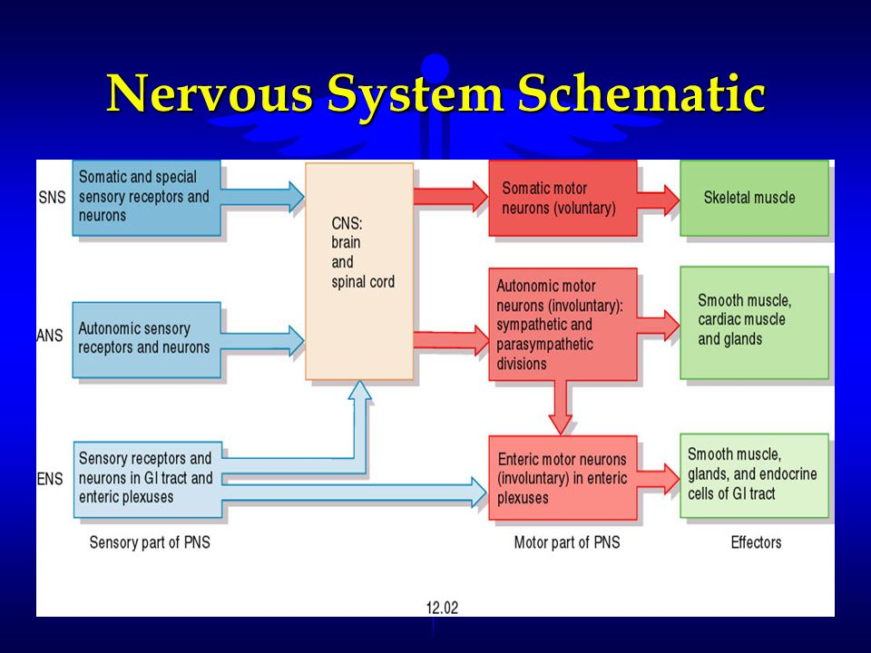 Nervous System Schematic