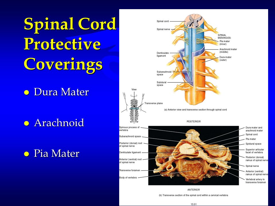 Spinal Cord Protective Coverings