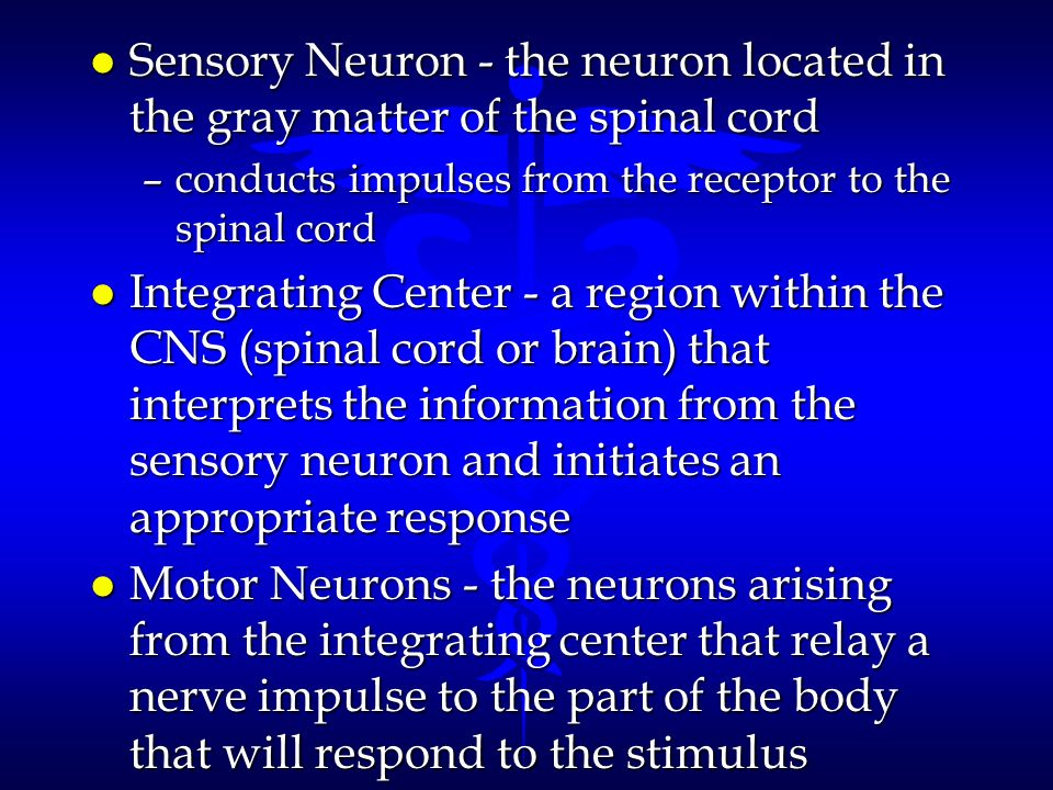 Sensory Neuron - the neuron located in the gray matter of the spinal cord