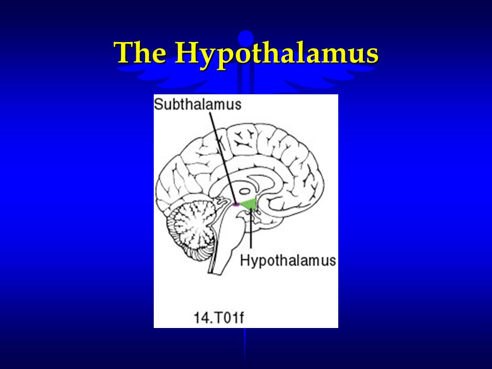 The Hypothalamus