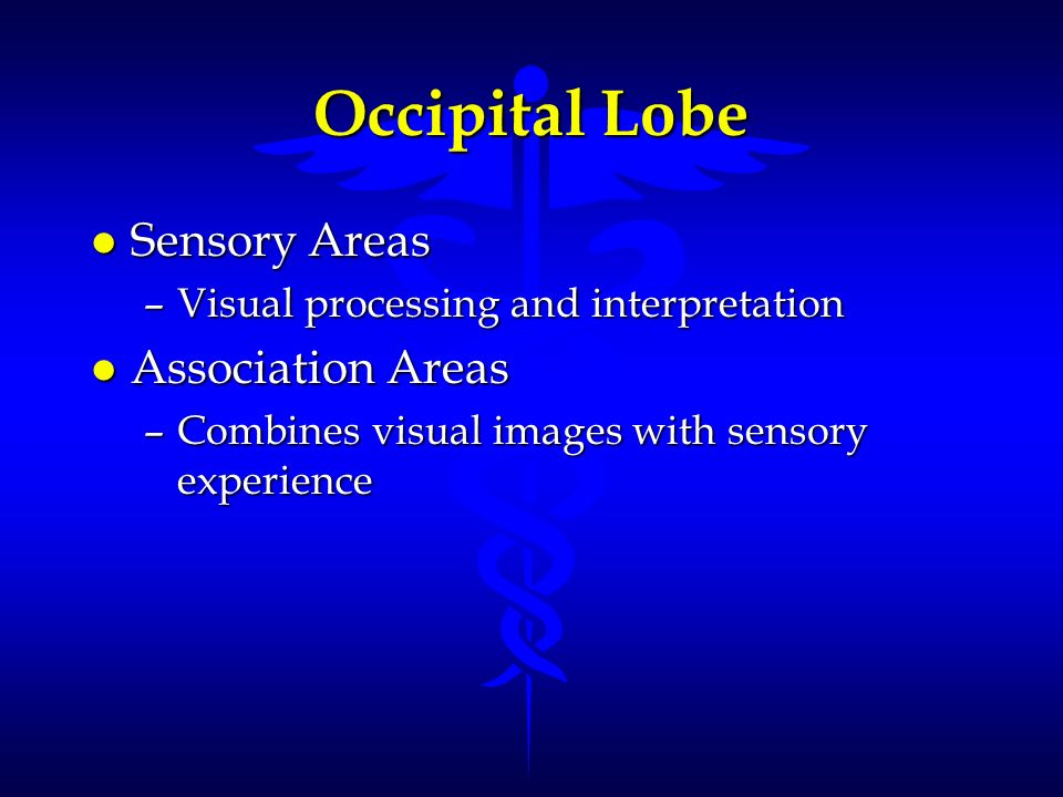 Occipital Lobe Sensory Areas Association Areas