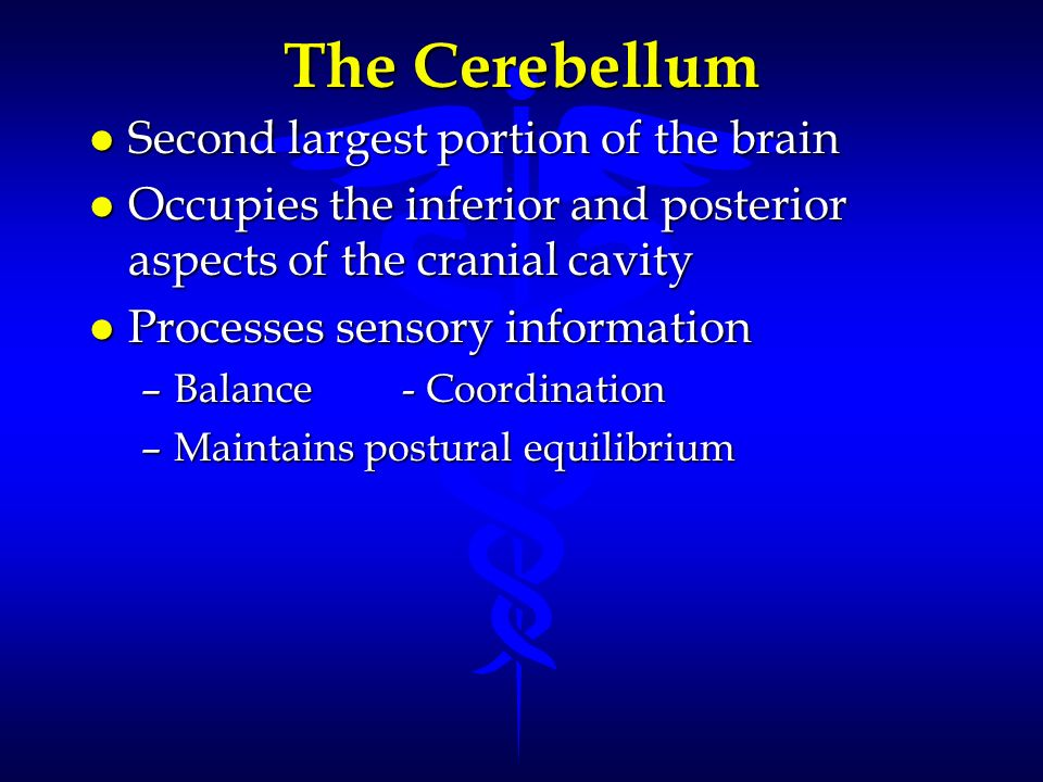 The Cerebellum Second largest portion of the brain