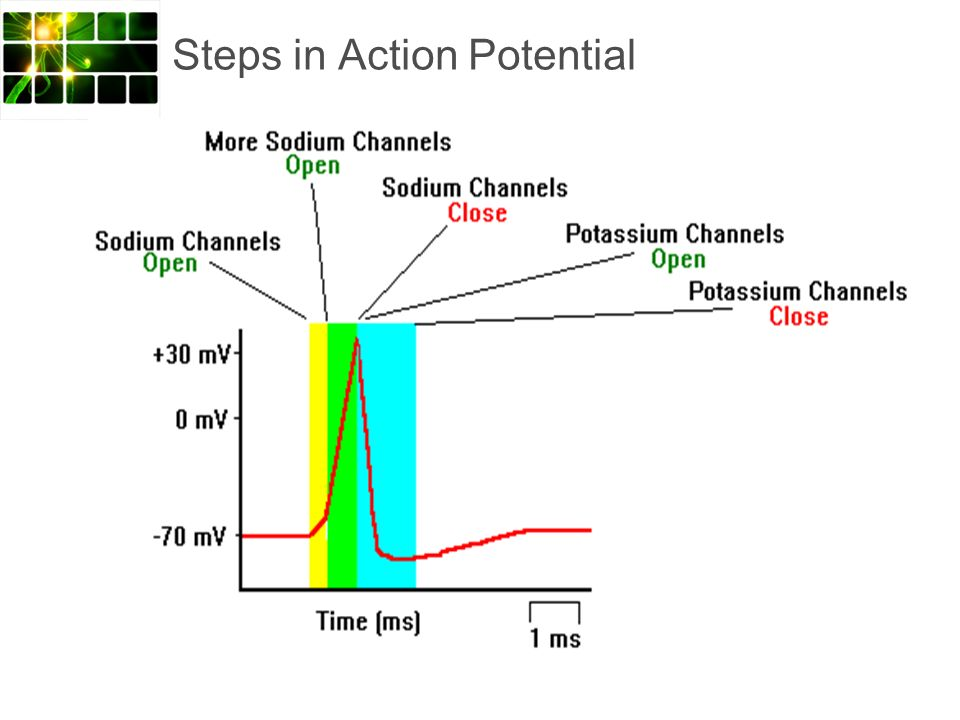 Steps in Action Potential