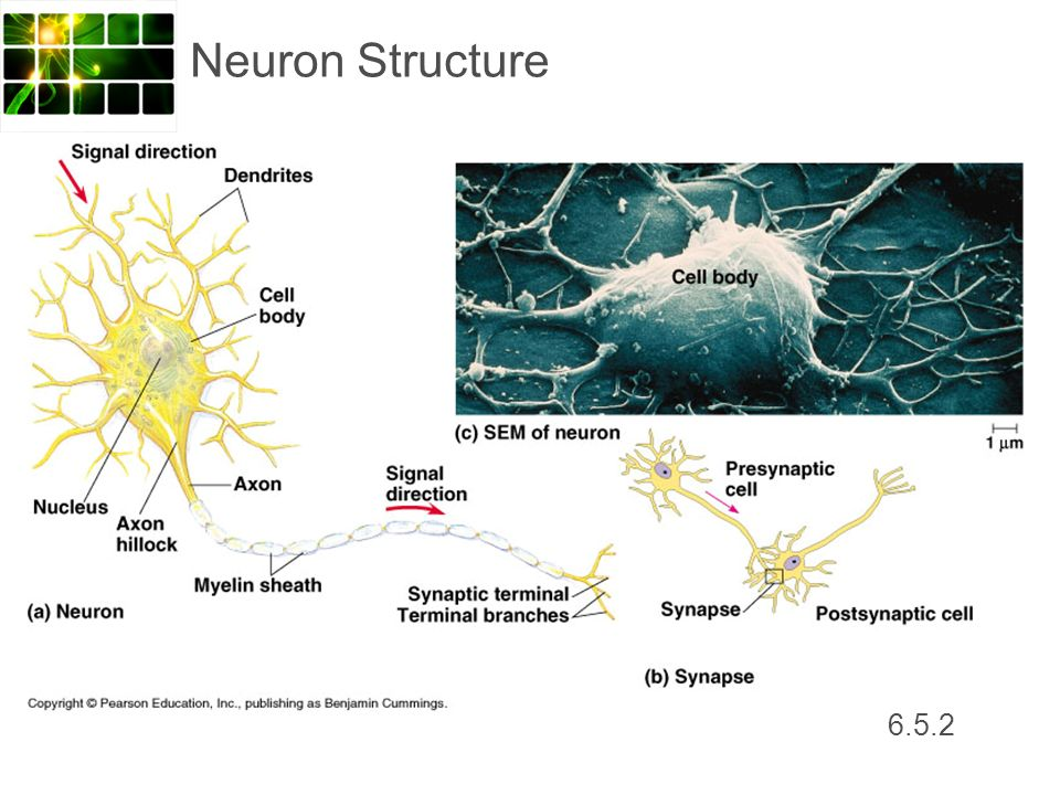 Neuron Structure 6.5.2