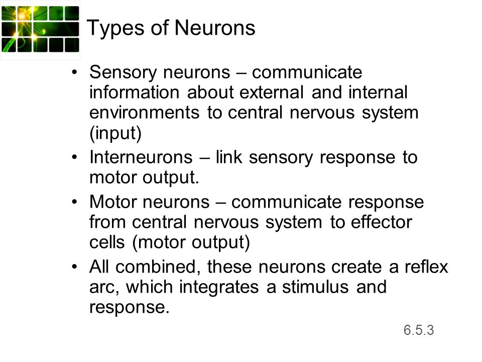 Types of Neurons Sensory neurons – communicate information about external and internal environments to central nervous system (input)