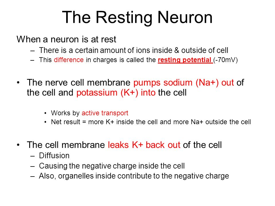 The Resting Neuron When a neuron is at rest