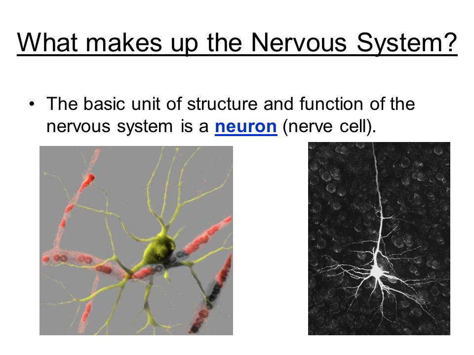 What makes up the Nervous System