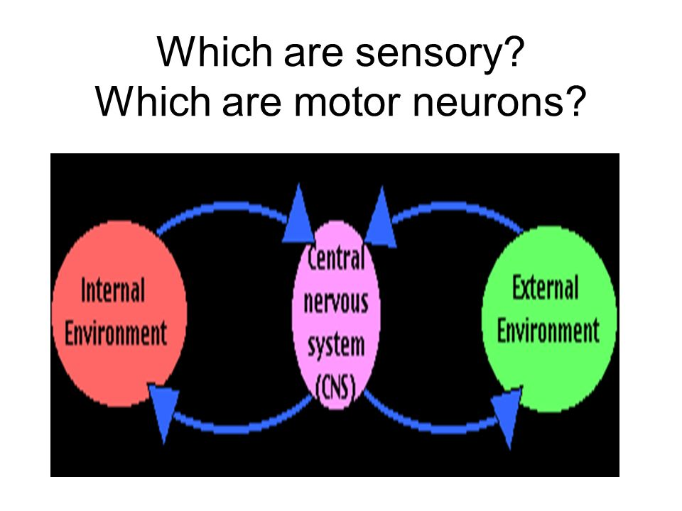 Which are sensory Which are motor neurons