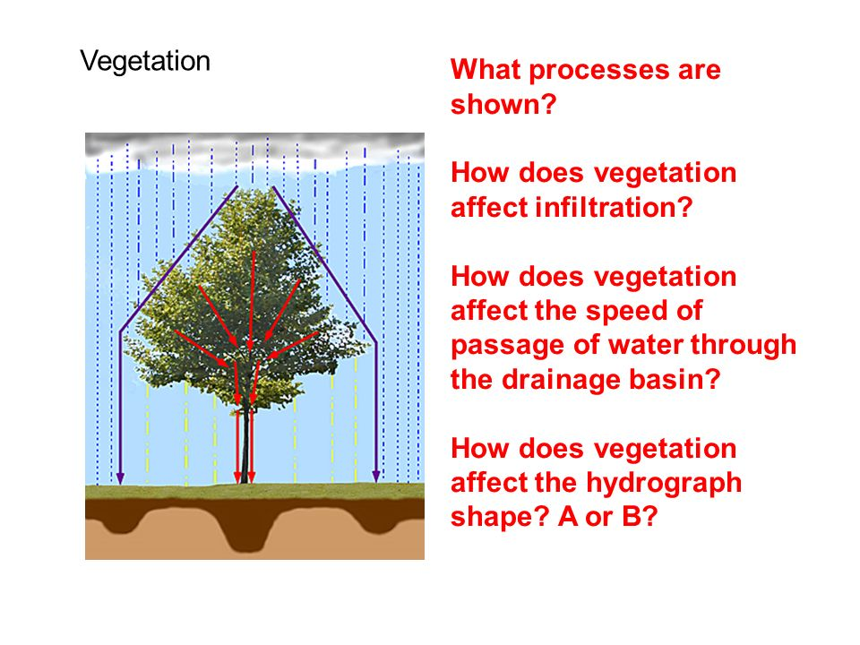 Vegetation What processes are shown How does vegetation affect infiltration