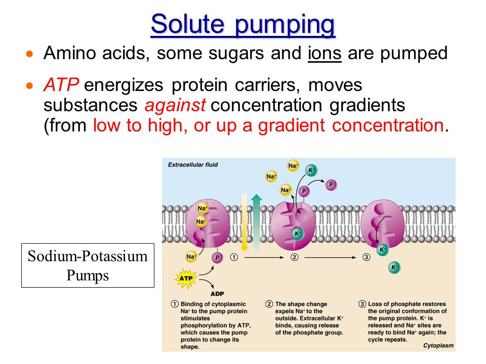 Solute Pump Diagram Search For Wiring Diagrams