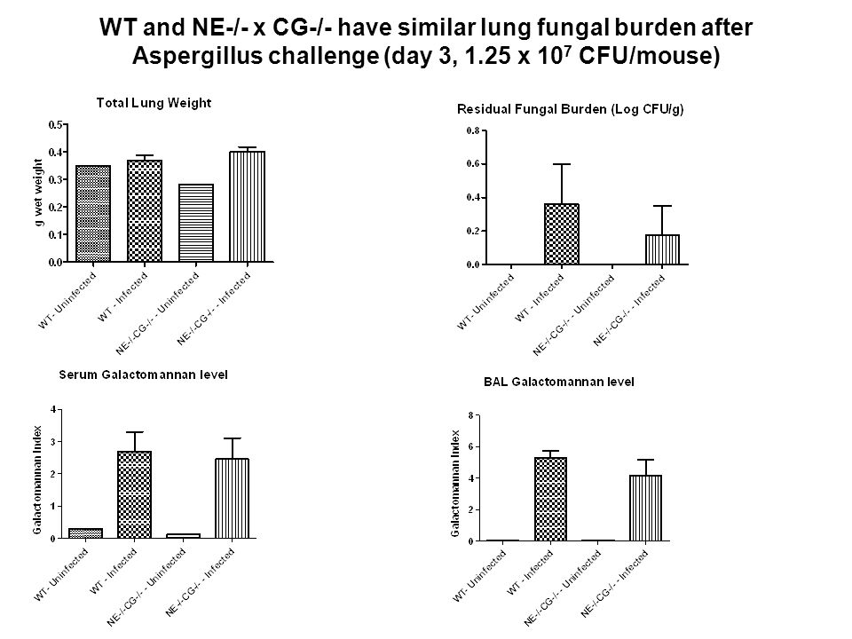 WT and NE-/- x CG-/- have similar lung fungal burden after Aspergillus challenge (day 3, 1.25 x 107 CFU/mouse)