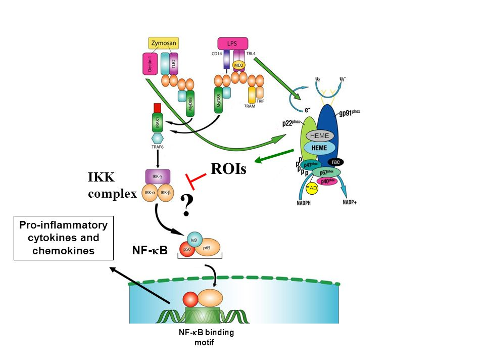 ROIs IKK complex NF-kB Pro-inflammatory cytokines and chemokines